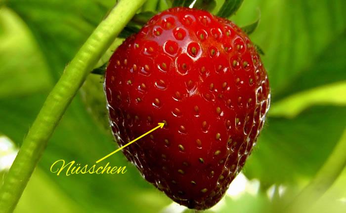 Erdbeeren Nüsschen