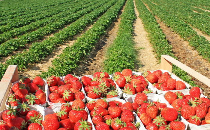 Erdbeeren vor dem Feld